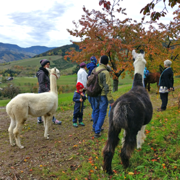 Alpaka-Trekking-Tour